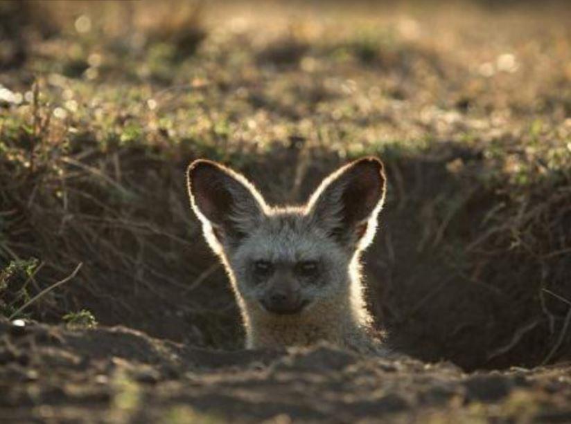 Bat-Eared-Fox-Otocyon-megalotis-Ashnil-Lodges-Camps-Kenya-Masai-Mara. low season offers